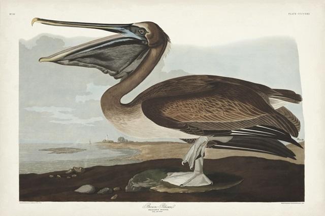 Pl 421 Brown Pelican