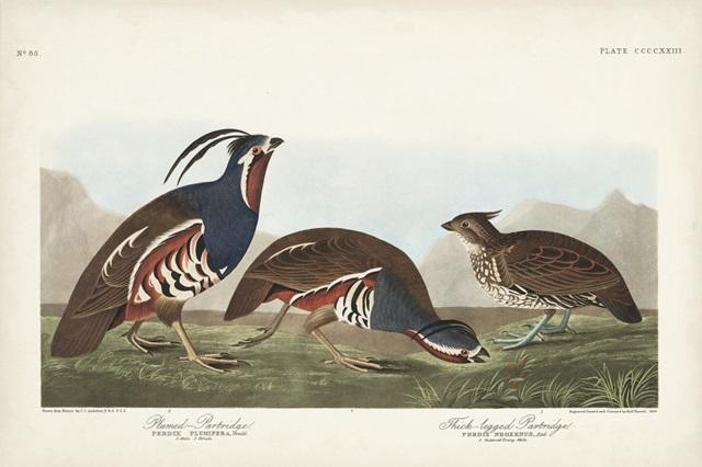 Pl 423 Plummed Partridge