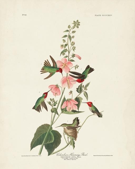 Pl 425 Columbian Hummingbird