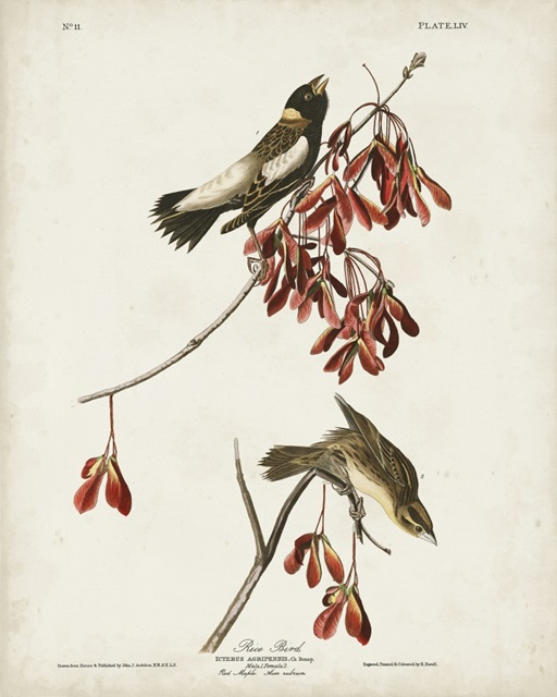 Pl 54 Rice Bird