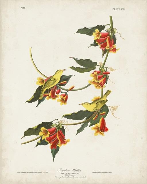 Pl 65 Rathbone Warbler