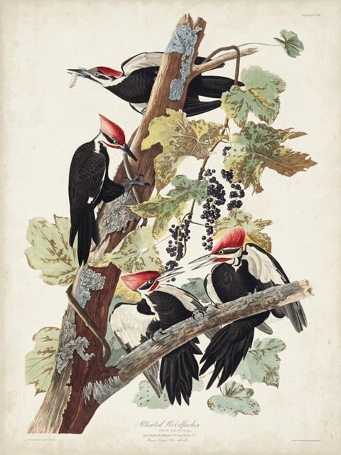 Pl. 111 Pileated Woodpecker