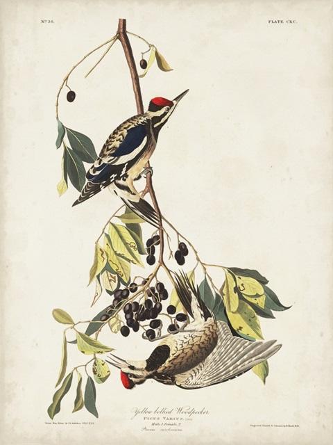 Pl. 190 Yellow-bellied Woodpecker
