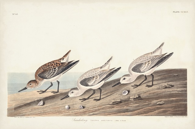 Pl. 230 Sanderling