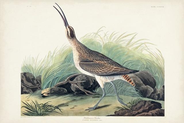 Pl. 237 Hudsonian Curlew