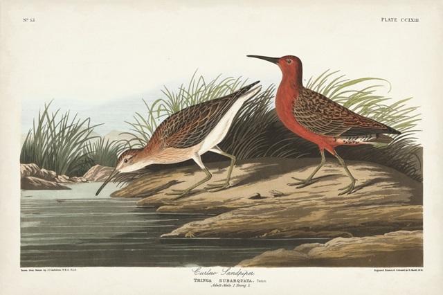 Pl. 263 Curlew Sandpiper