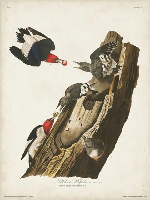 Pl. 27 Red-headed Woodpecker