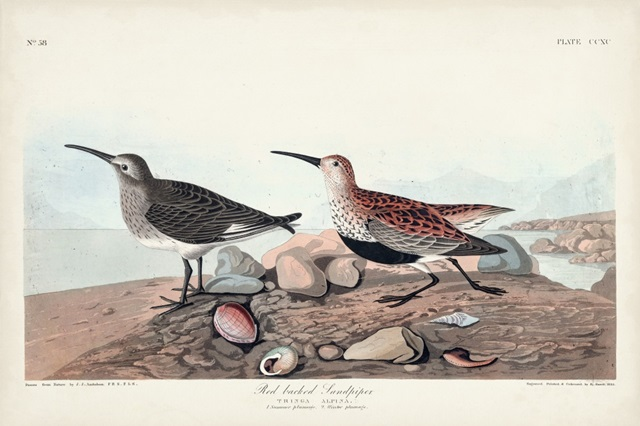 Pl. 290 Red-backed Sandpiper