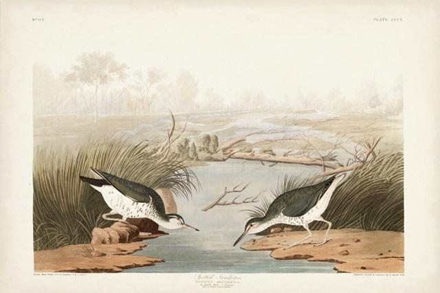 Pl. 310 Spotted Sandpiper