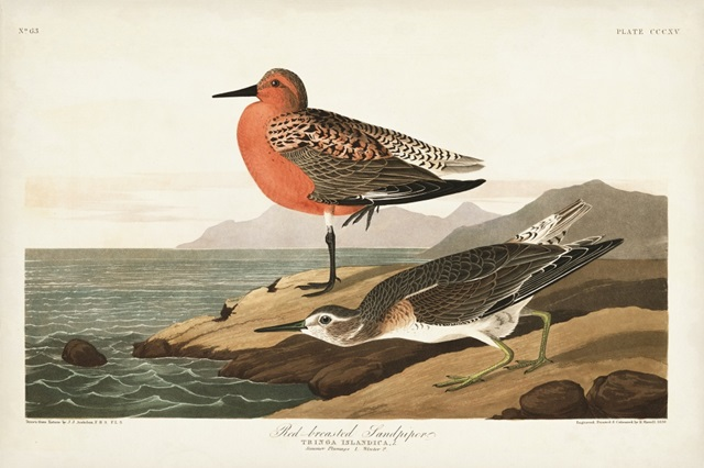 Pl. 315 Red-breasted Sandpiper