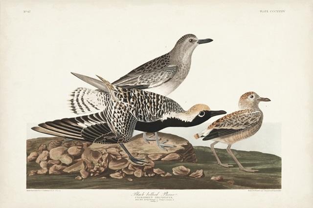 Pl. 334 Black-bellied Plover