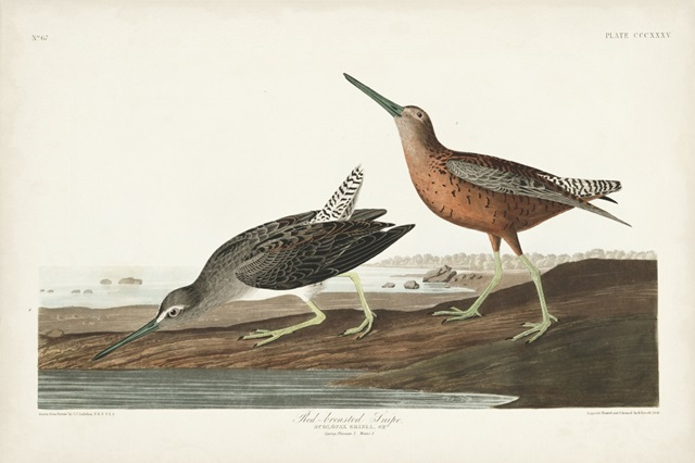 Pl. 335 Red-breasted Snipe