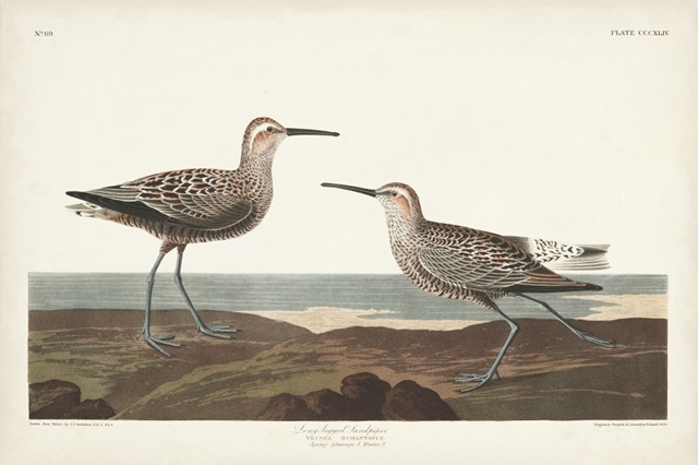 Pl. 344 Long-legged Sandpiper