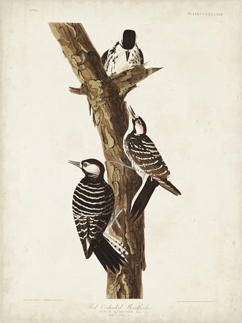 Pl. 389 Red-cockaded Woodpecker