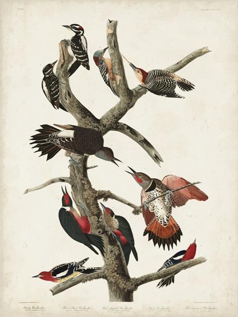Pl. 416 Hairy Woodpecker