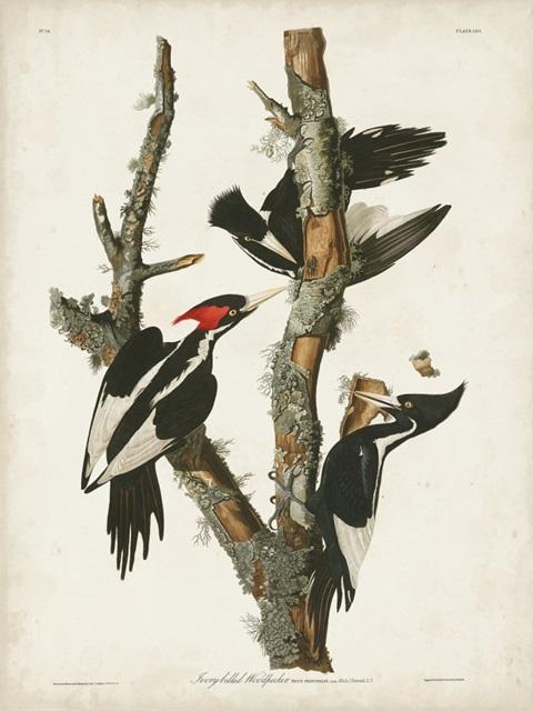Pl. 66 Ivory-billed Woodpecker