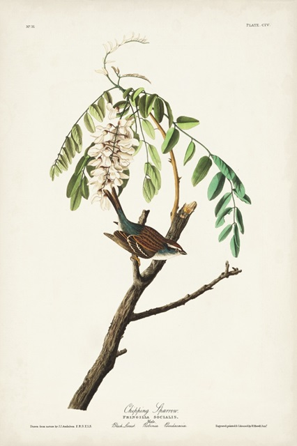 Pl. 104 Chipping Sparrow