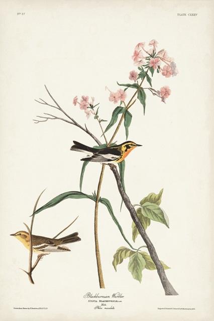 Pl. 135 Blackburnian Warbler