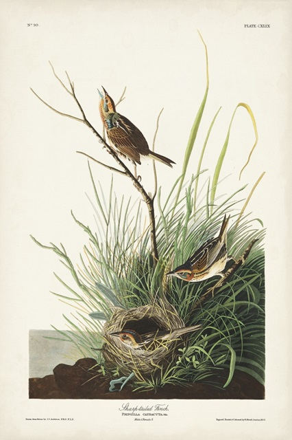 Pl. 149 Sharp-tailed Finch