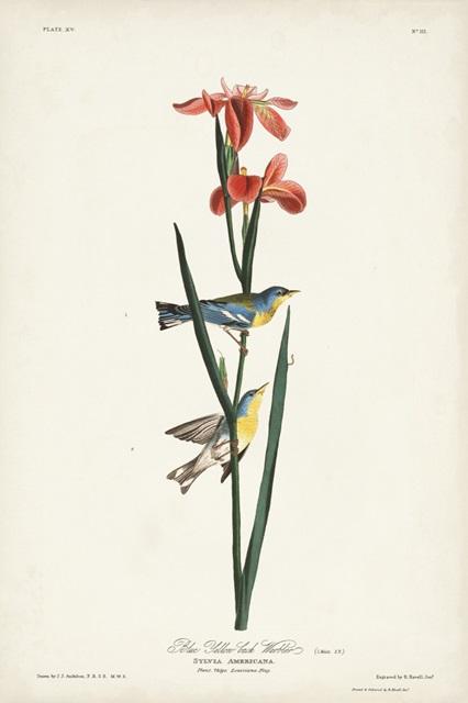 Pl. 15 Blue Yellow-back Warbler