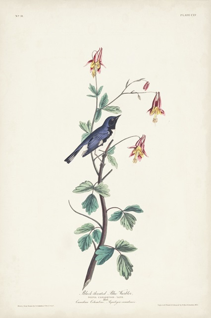 Pl. 155 Black-throated Blue Warbler