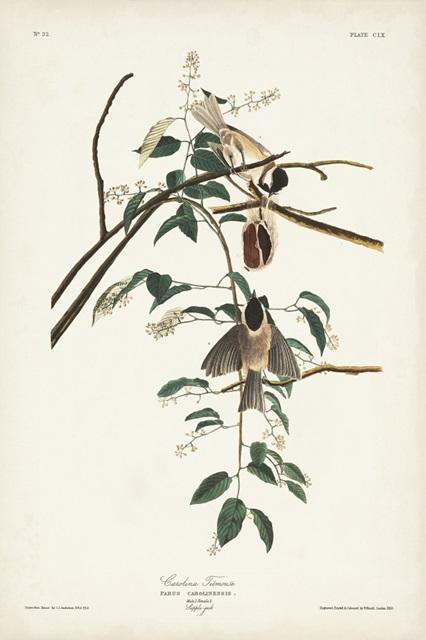 Pl. 160 Carolina Titmouse
