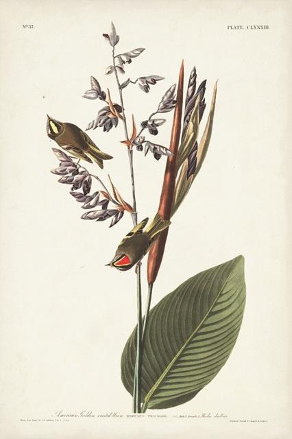 Pl. 183 American Golden-crested Wren