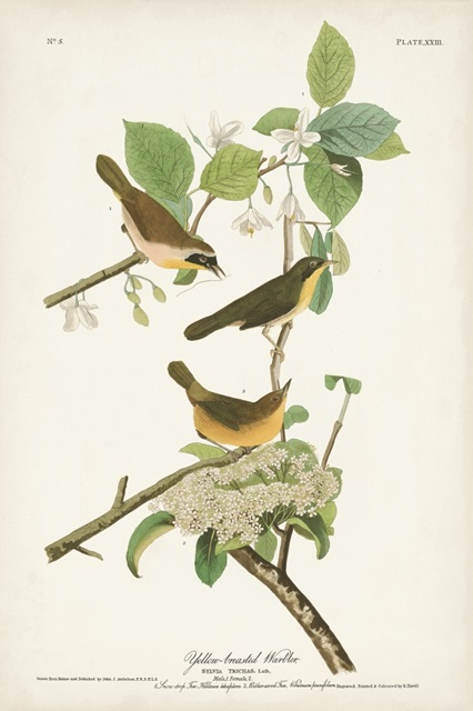 Pl. 23 Yellow-breasted Warbler
