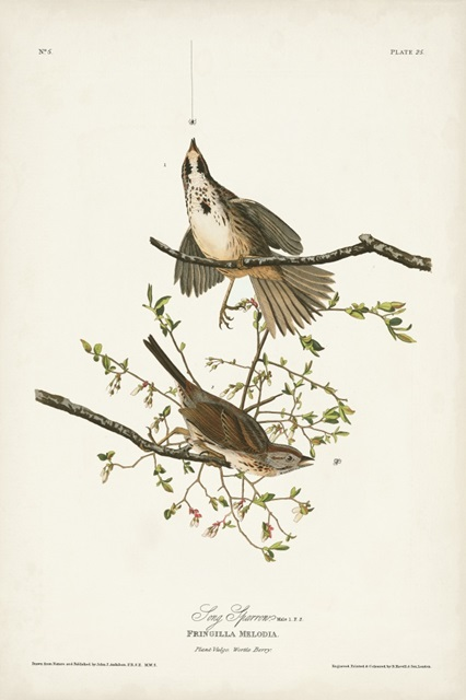 Pl. 25 Song Sparrow