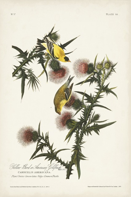 Pl. 33 American Gold Finch
