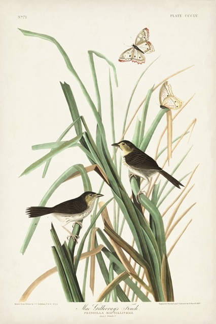 Pl. 355 Mac Gillivray's Finch