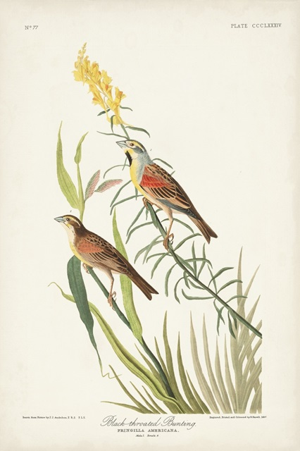 Pl. 384 Black-throated Bunting