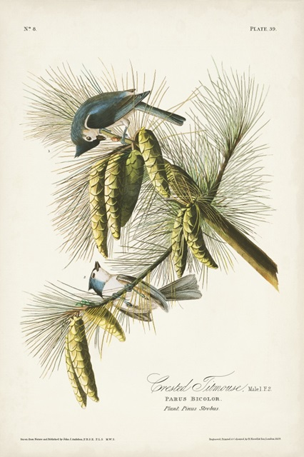 Pl. 39 Crested Titmouse
