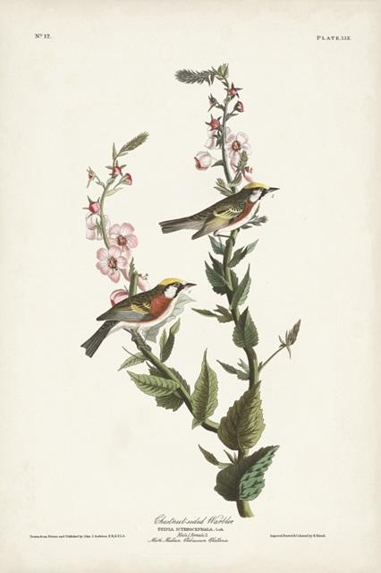 Pl. 59 Chestnut-sided Warbler