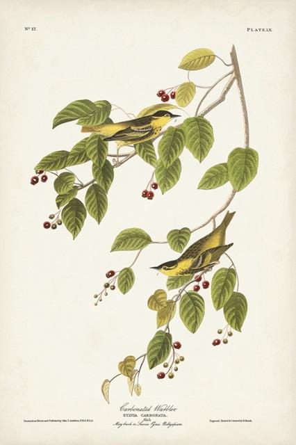 Pl. 60 Carbonated Warbler