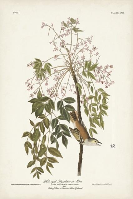 Pl. 63 White-eyed Flycatcher