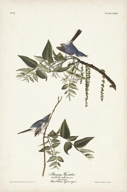 Pl. 84 Bluegrey Flycatcher