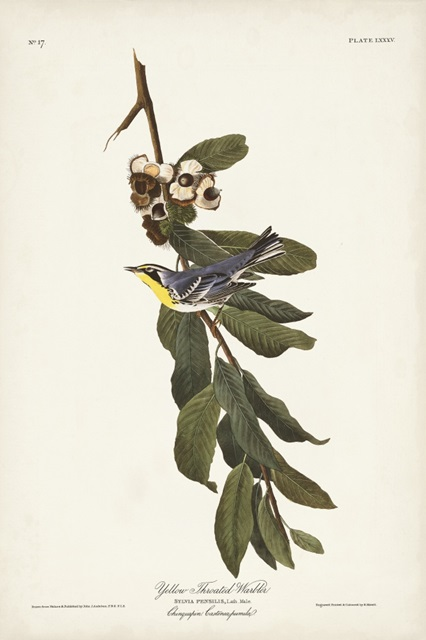Pl. 85 Yellow-throated Warbler