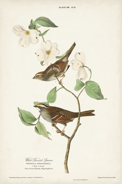 Pl.8 White-throated Sparrow