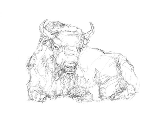 Bison Contour Sketch II