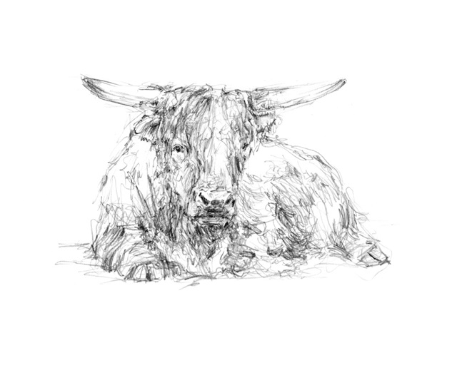 Highland Cattle Sketch II