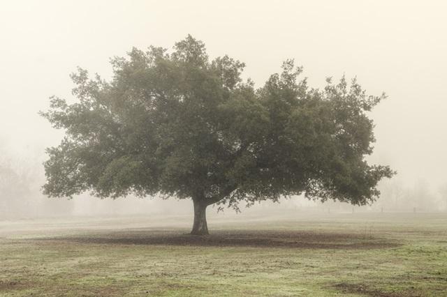 Trees in the Fog II