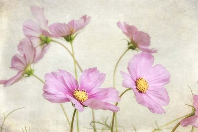 Pink Cosmos II