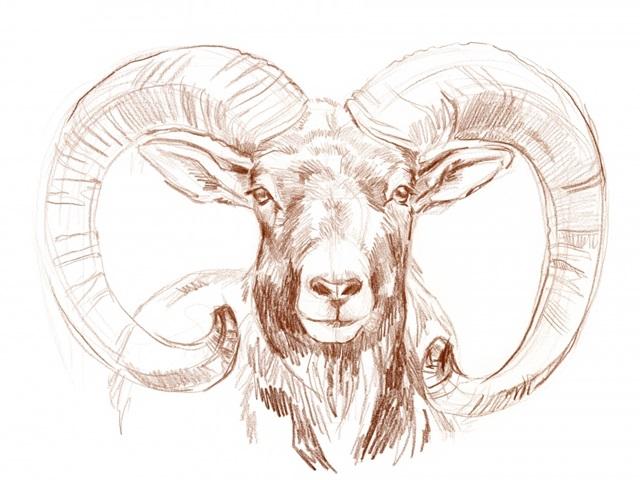 Big Horn Sheep I