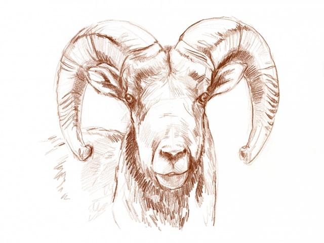 Big Horn Sheep II