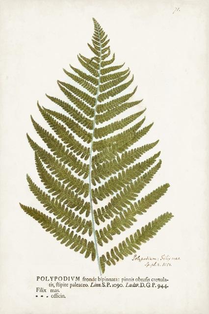 Nature Printed Ferns II