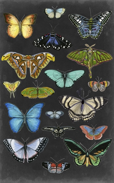 Graphic Butterfly Taxonomy I