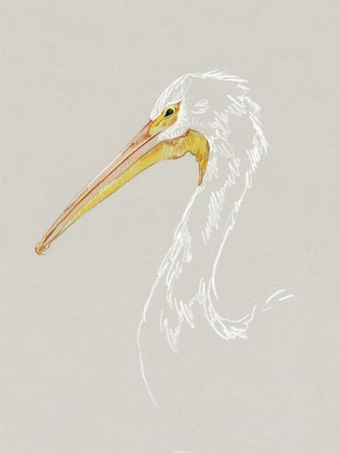 Bright Pelican Sketch I