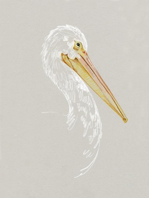 Bright Pelican Sketch II